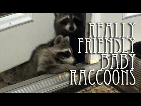 Really friendly baby raccoons coming right in the door