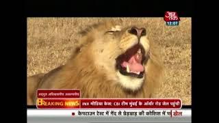 गिर में शेरों और इंसानों के बीच अद्भुत अविश्वसनीय अकल्पनीय रिश्ता