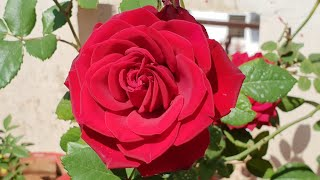 Summer Care of Rose Plant || Care of Rose Plant in Summer Season