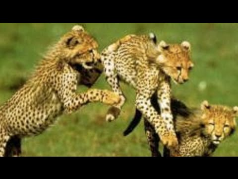 Namibia Cheetah Conservation: Initiative moves in  to save dwindling number of cheetahs