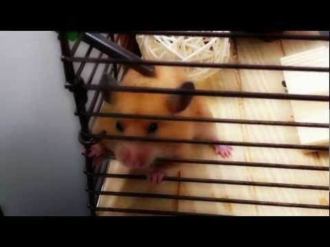 My hamster chewing on and climbing cage bars (again)