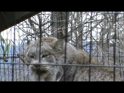 Pissed off Canadian Lynx at Mill Mountain Zoo