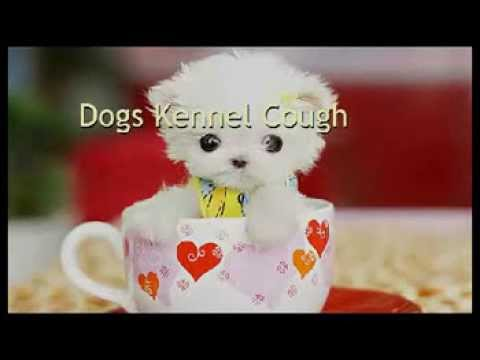Dogs Kennel Cough