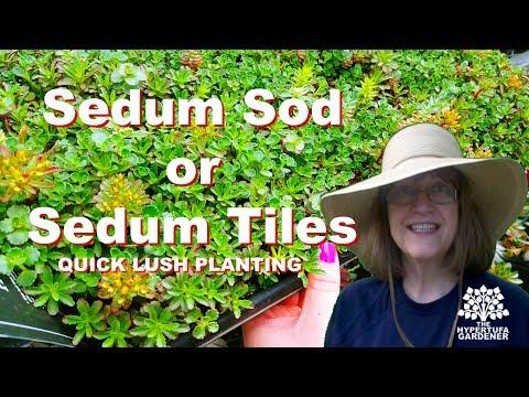 Sedum Sod - Instant Full & Lush Planted Hypertufa Pot