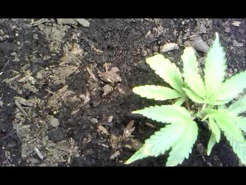 Veg room CFL and LED grow Cannabis