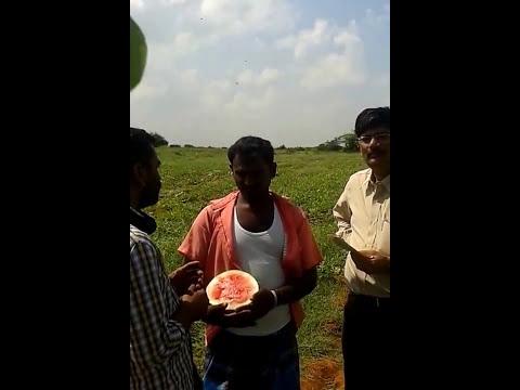 Farmer Success Story Hybrid Watermelon  Seed Mahindra W 6060  - JiJi Store