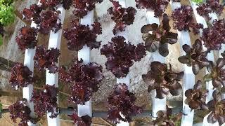 Horticultura Hidropônica Horta Viva