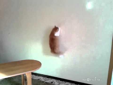 Exercise for overweight cat / Упражнение для толстого кота