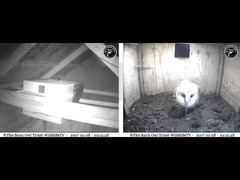 Barn Owls in barn and nestbox - Barn Owl Trust WildlifeTV