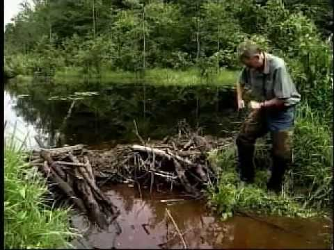 How to set a body gripping trap for beavers