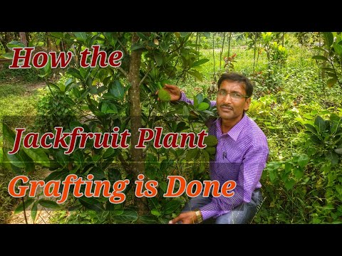 HOW TO GRAFT  A  JACKFRUIT TREE IN THE BEST WAY