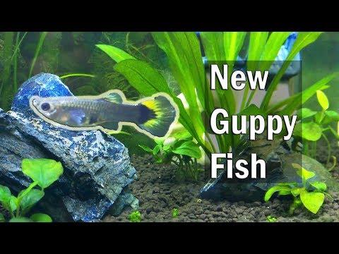New Guppies Fish for the Planted Aquarium