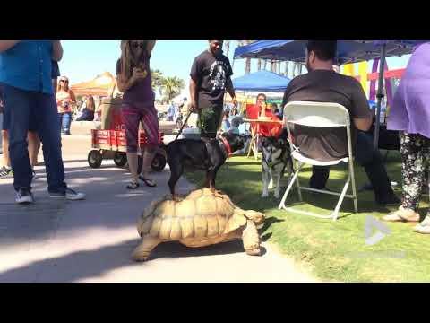 Doggy Rides Tortoise || Viral Video UK