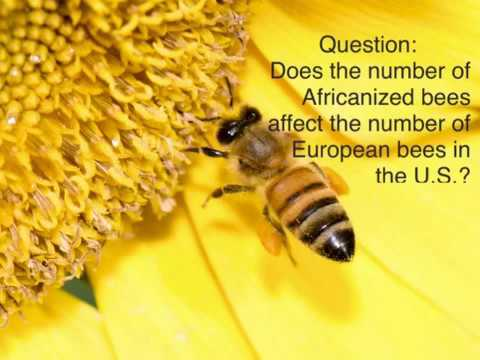 Africanized bees vs European honey bees