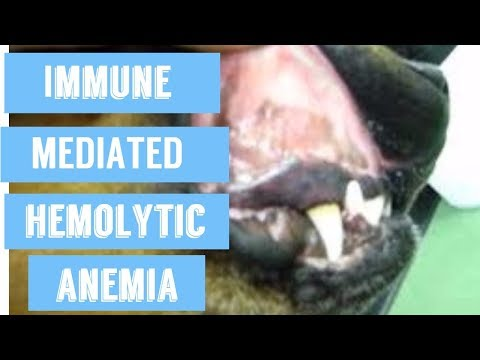 Anemia In Dogs: Immune Mediated Hemolytic Anemia