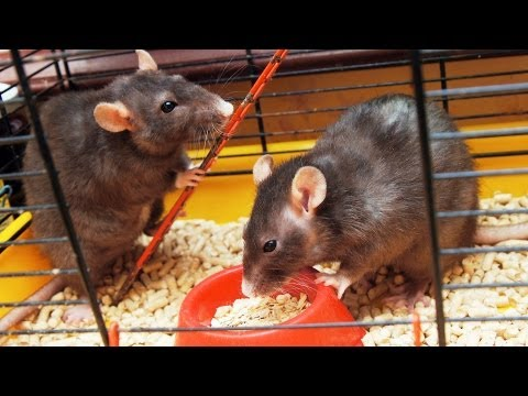 Rat Litter & Bedding | Pet Rats