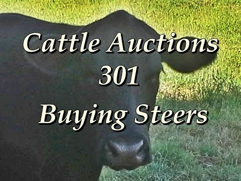 Cattle Auctions 301