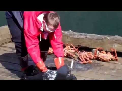 Alaska Woman gets live King Crab in Sitka!