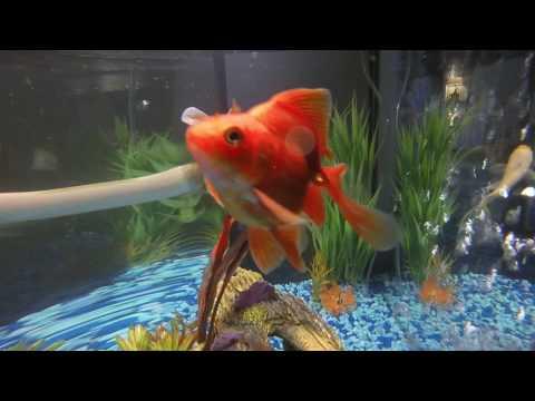 Happy Goldfish Being Happy Goldfish