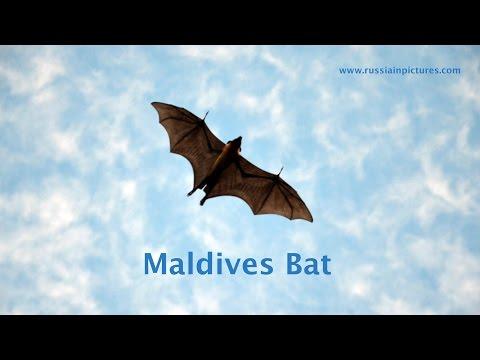 Maldives Bat