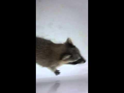Baby raccoon makes noises