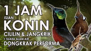 Terapi Konin Buka Paruh Isian Cililin & Jangkrik Mastering 1 Jam | Hd Download Mp3 Mp4 3GP HD Video