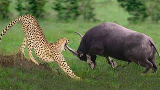 Leopard Holds Baby Buffalo Surrounded By The Whole Herd, Never Seen Before – Porcupine, Honey Badger