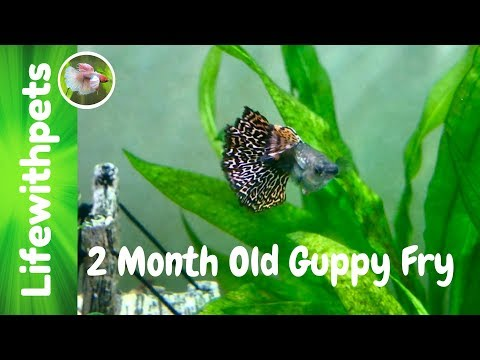 2 Month old Guppy Fry and Feeding Them.