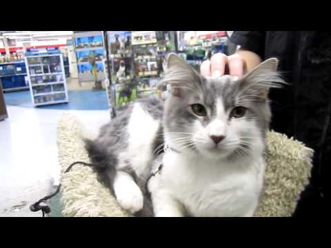 Horatio - 6 month old gray and white male kitty - Peninsula Humane Foundation @ PetCo