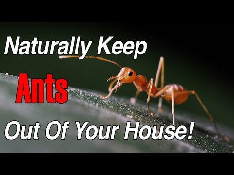 How to get rid of ants fast naturally | How to get rid of ants in the house