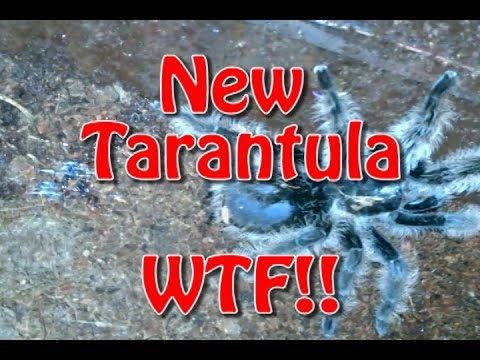 New Tarantula....Wild Caught?!?