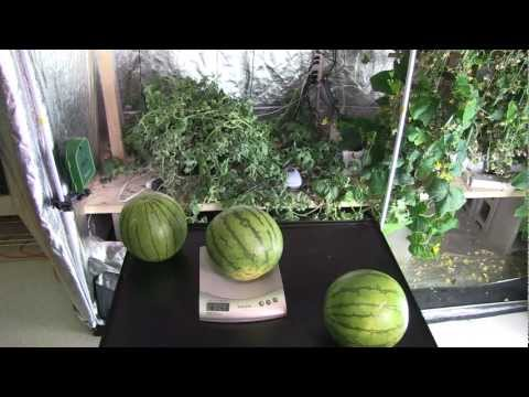 Hydroponic Watermelon grown indoors