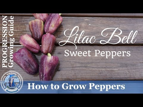 How to Grow Lilac Bell Sweet Peppers