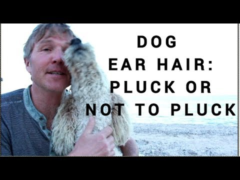 Dog Ear Hair: To Pull Or Not To Pull?
