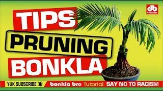 Bonsai Kelapa Nungging