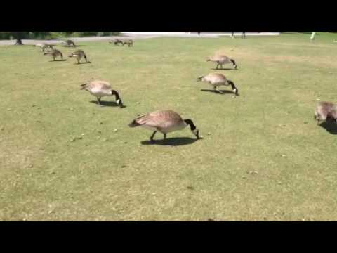 Crazy Canada geese are so friendly and ducks here in calgary alberta at the park having a great day