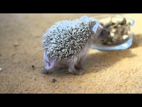 African pygmy hedgehog baby girl - midget