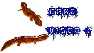 Sugarglider Queen Gecko Guy Videos