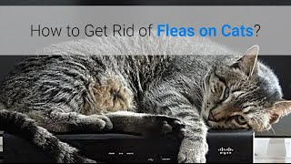 How To Get Rid Of Fleas On Cats 5 Natural Methods