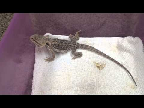 Small Beardie with problems, sometimes more poop is a good thing