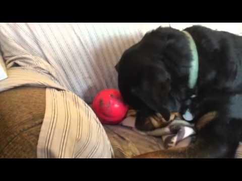Pedigree dog vs rescue dog