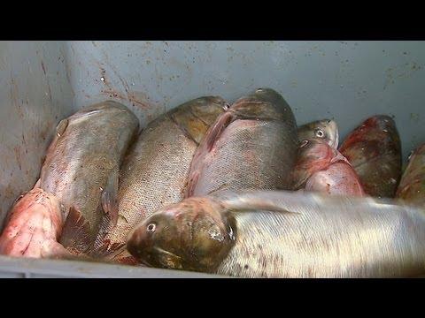 Asian Carp Processing Plant in Kentucky