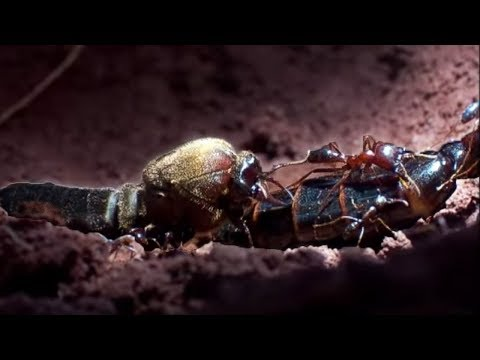 Summons of the Queen ant | Ant Attack | BBC