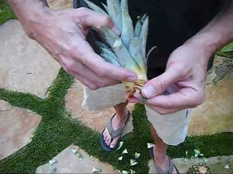How to make a Pineapple plant