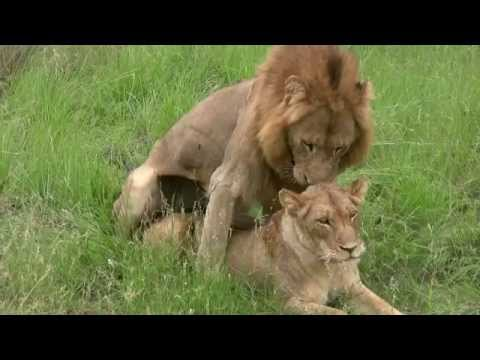 Xxx Mp4 Lions Mating Twice Watch To The End Sex Education Lesson From Mala Mala South Africa 3gp Sex