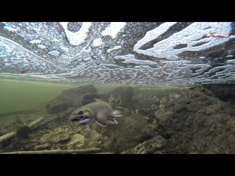 Brook Trout in ULTRA HD 4k (Salvelinus fontinalis): Under Water Spawning  and Life Cycle