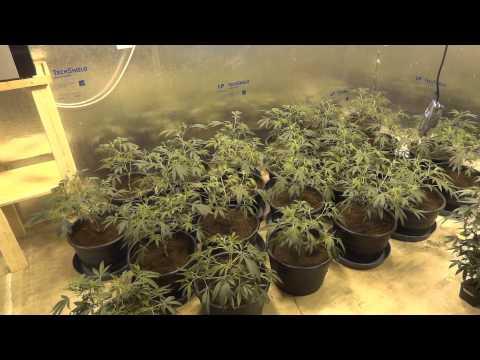 Room B - Green Crack Cannabis Grow - Part 2