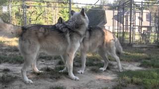Wolf Dominance Display