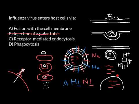 How influenza virus enters the host cell