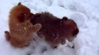 Pomeranian puppies play in the snow